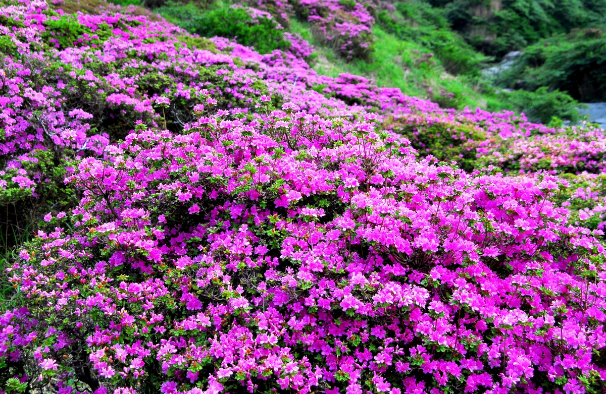 花に酔う ミヤマキリシマ