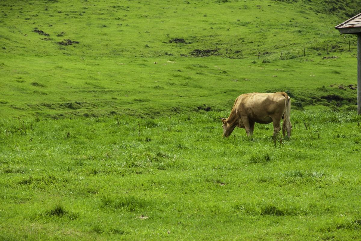 あか牛と牧野